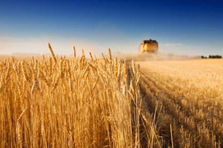 пшеница Русия